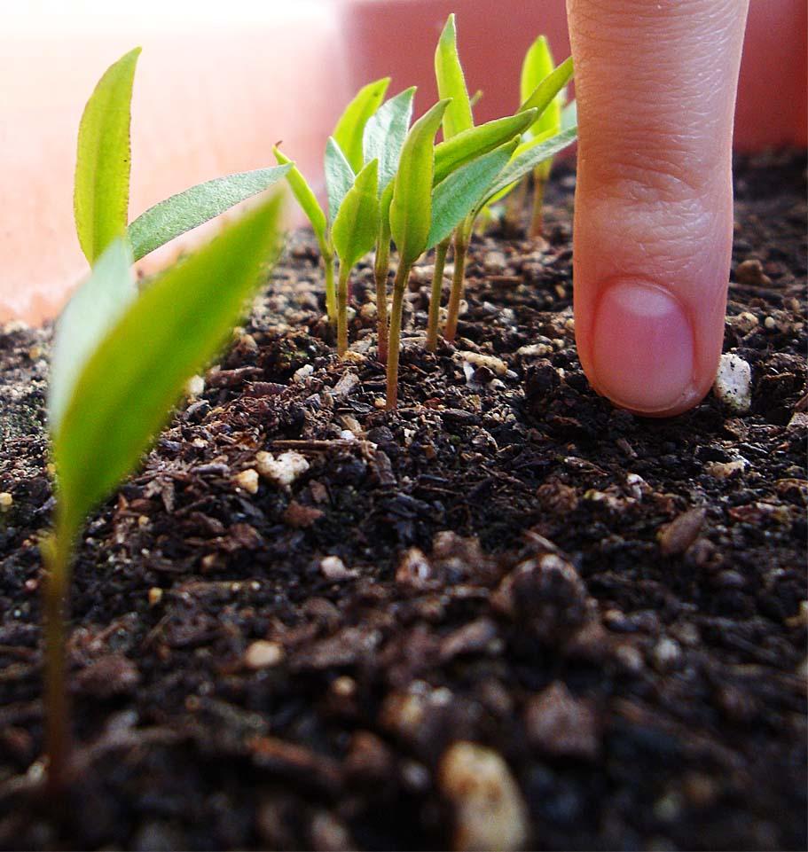 Pimiento viviendo entre plantas for Plantar pimientos y tomates