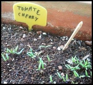 brotes tomates
