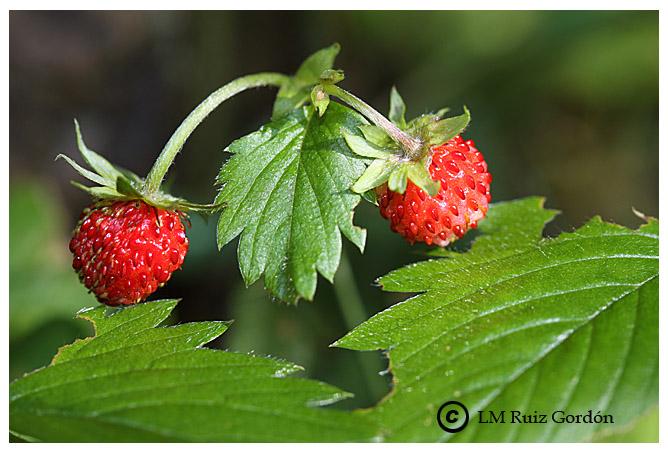 tanto la flor como sus frutos a lo largo de su periodo de maduración