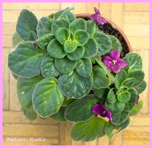 violeta africana 2